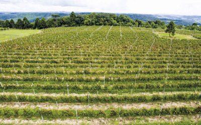 A viticultura de altitude no planalto catarinense (Parte 2)